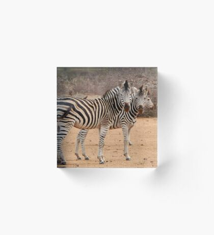 TWO OR THREE ? -  BURCHELL'S ZEBRA – Equus burchelli – Bontkwagga Acrylic Block