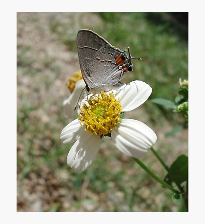 Hairstreak on Spanish Needles Photographic Print