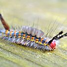 White-Marked Tussock Moth Caterpillar 2 by Dawne Dunton