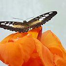 Brown & White Butterfly on Orange Flower by LumixFZ28