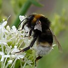 Busy Busy Bee by LumixFZ28