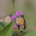 Monarchs 2018-1 by Thomas Young