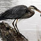 Great Blue Heron With Bullhead Fish by Wolf Read