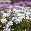 Close-up of garden bed flowers in a park in Blue Mountains by Danielasphotos