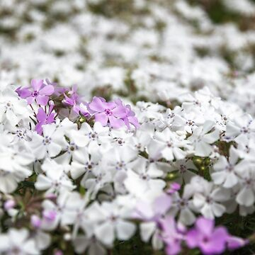White and pink garden bed flowers by Danielasphotos