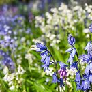 Blue and White Hyacinth Flowers by Danielasphotos