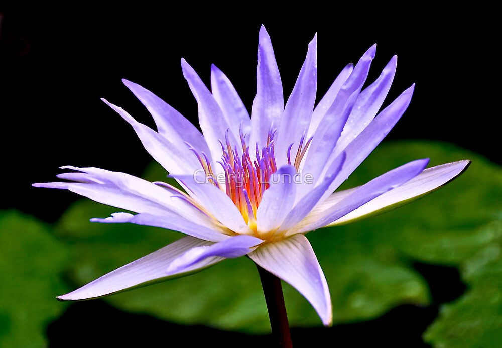 Water Lily 2 by Cheryl  Lunde