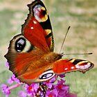 European Peacock Butterfly, by AnnDixon
