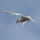 Arctic tern in flight by wildlifephoto