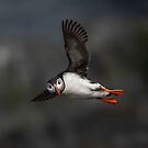 A Shetland puffin in flight by wildlifephoto