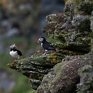 Shetland puffins on the cliffs of Hermaness by wildlifephoto
