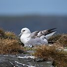 Fulmar and chick by wildlifephoto