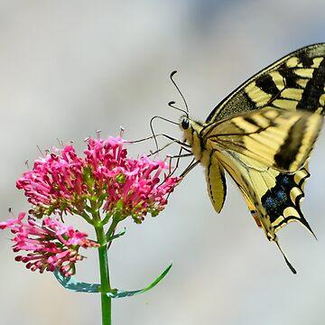Swallowtail butterfly, Castiglioncello del Trinoro, Tuscany, Italy by AndyJones