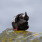 Black Guillemot preening by wildlifephoto