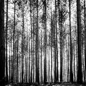 trees in forest landscape - black and white nature photography by ohaniki