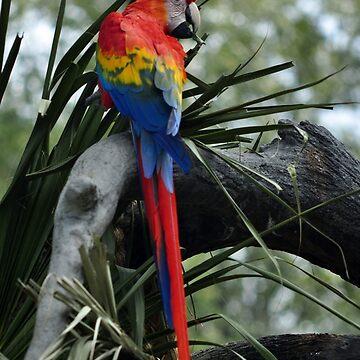 Scarlet Macaw by fotokmcc