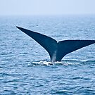 North Atlantic Right Whale by Sean McConnery