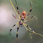 Argiope spider by zumi