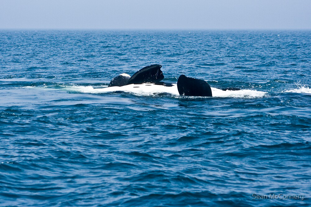 """North Atlantic Right Whale"" by Sean McConnery 