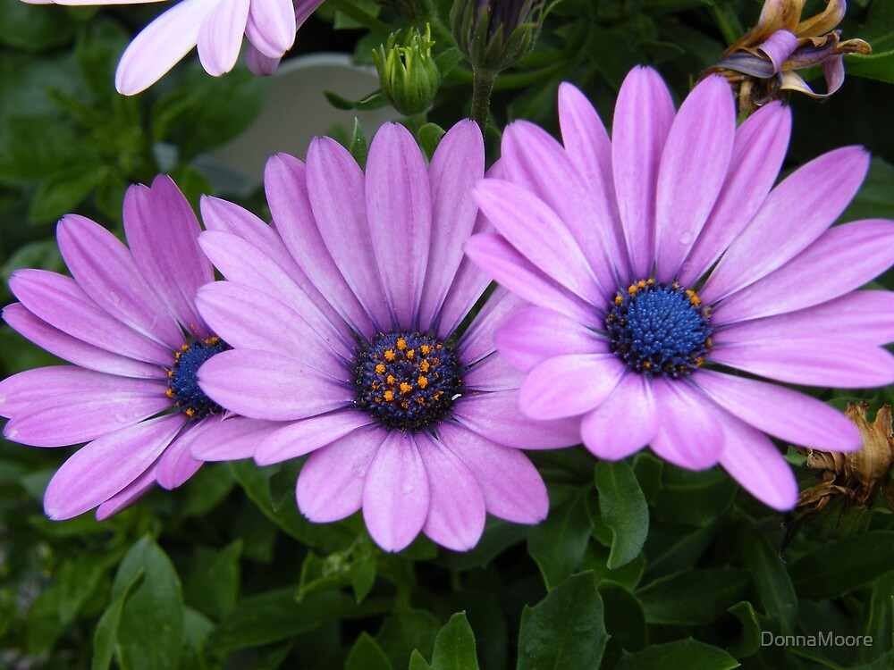 Quot Purple Daisies Quot By Donnamoore Redbubble