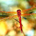 Glistening Red Dragonfly by Cynthia48