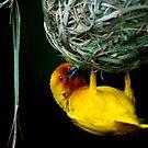 Weaver bird by Tony Hadfield