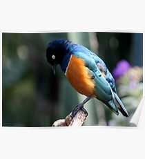 African Superb Starling Looking Down Poster