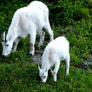 A pair of mountain goats . by Borror