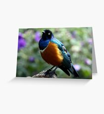 African Superb Starling Greeting Card