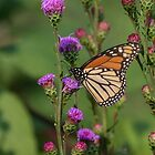 Monarch 2018-13 by Thomas Young