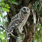 young owl by cliffordc1