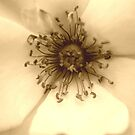 Heart of the White Rose in Sepia by Wayne Gerard Trotman