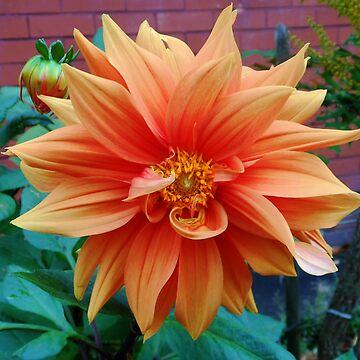 Beautiful Autumn Dahlia - Blossom and Bud by SunriseRose