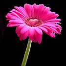 Pink Gerbera with heart by Vanessa Pike-Russell