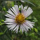 Panicled Aster- Aster simplex by Tracy Wazny