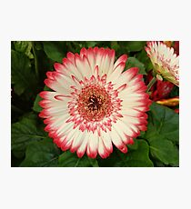 Red and white gerbera flower  Photographic Print