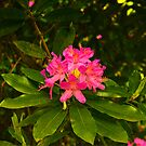 Rhododendron #2 by Trevor Kersley