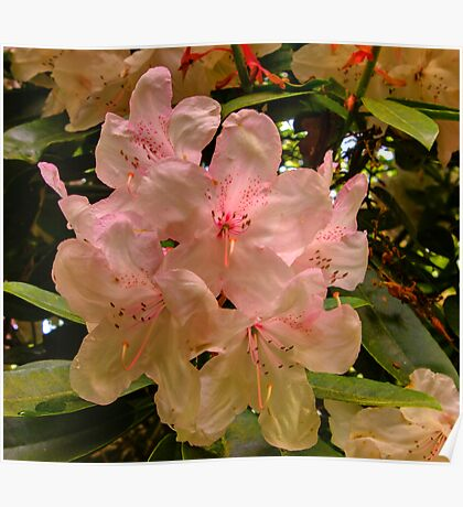 Hint of Pink (Rhododendron) Poster