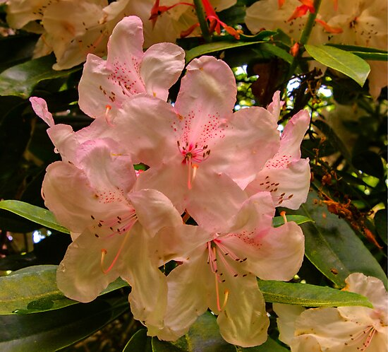 Hint of Pink (Rhododendron) by Trevor Kersley