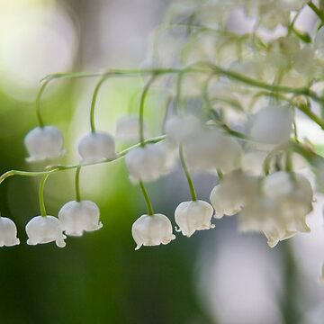 Lily of the valley panorama by littlefox