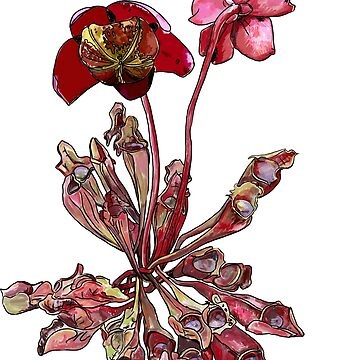 Pitcher Plant, Sarracenia purpurea by michdevilish