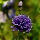 Globe Gilia In The Garden by Lynda Anne Williams
