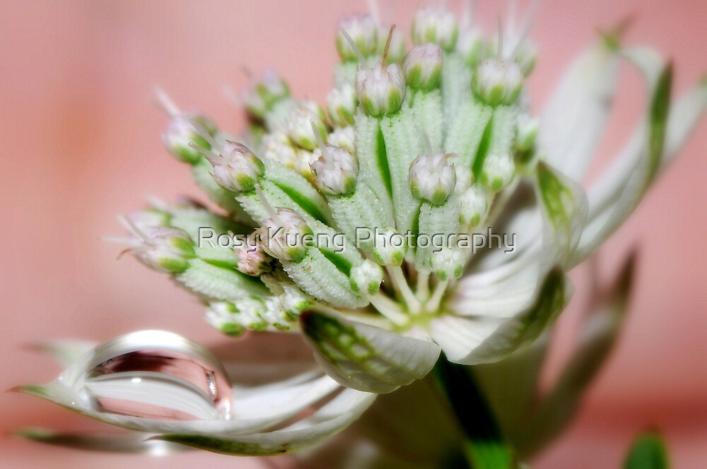 White Astrantia by Rosy Kueng Photography