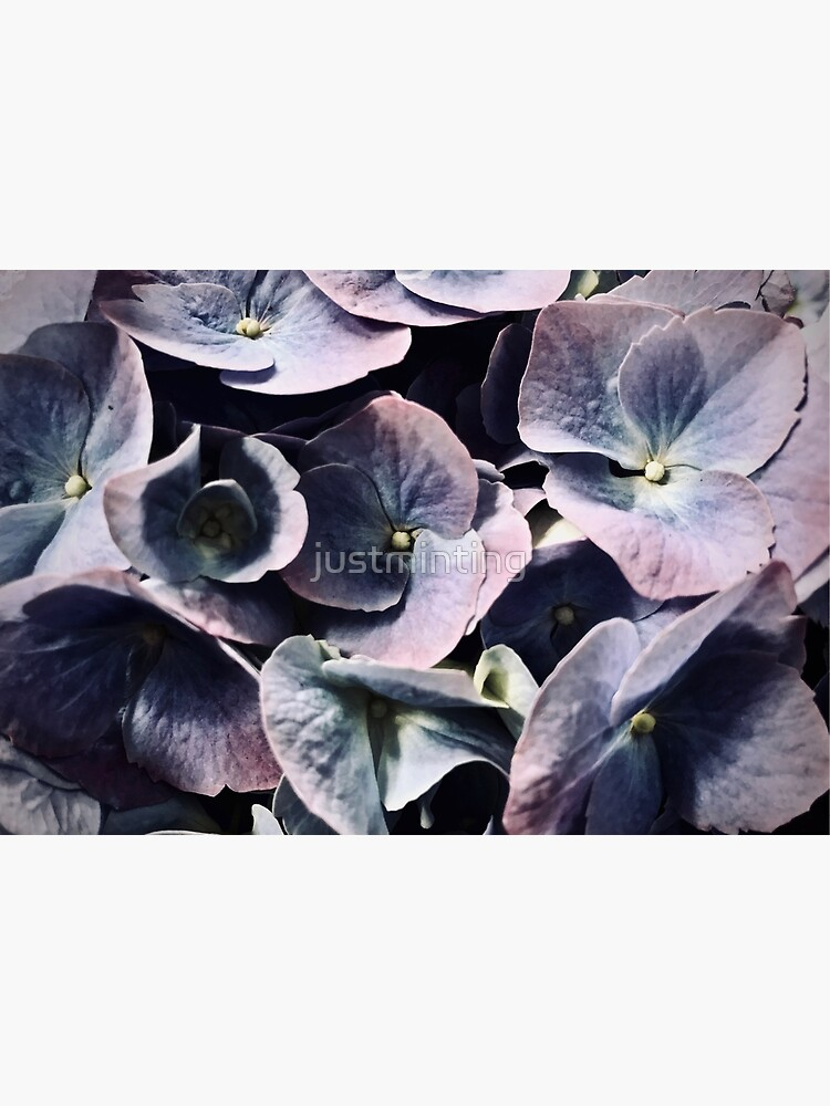 Purple Hydrangea by justminting