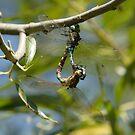 Two Common Green Darners by DigitallyStill