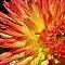 Fall Colored Flower Macro