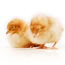 Pair of sleeping chicks by Shannon Wild
