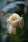 White Rose by mirandaburski