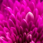 Pretty Pink by Jim Haley