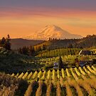 Golden sunset over Mt Adams and Hood River Valley pear orchards at sunset springtime by davidgnsx1